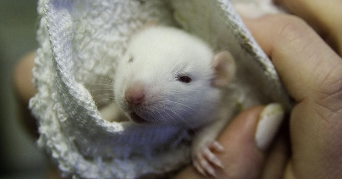 UNC Researchers Implant Aborted Fetal Tissue In Mice, Dubbed 'BLT Sandwich' In 2019 'Humanized Mice' Study - Report - National File